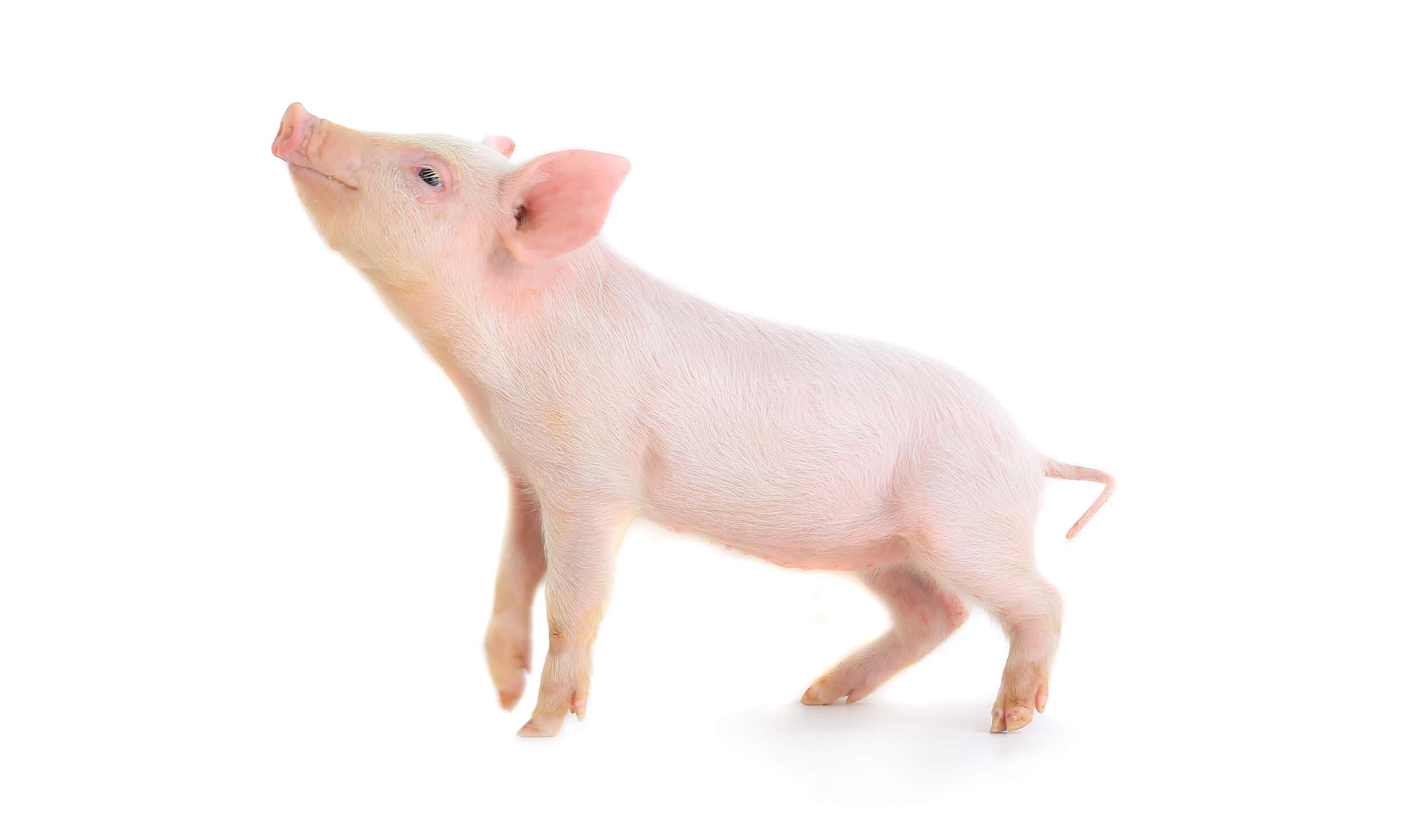 Yumax piglet